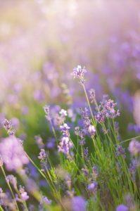 Blurring background lavender sunset.